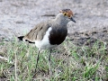 Brown-chested Lapwing.