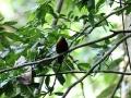 Chestnut-breasted negrofinch