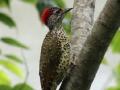 Green-backed woodpecker.