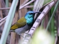 Green-headed Sunbird.