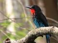 Black Bee-eater_1