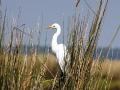 Intermediate Egret.