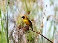 Northern Brown-throated Weaver.