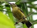 Olive-bellied Sunbird - female.