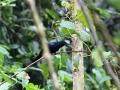 Petit's Cuckoo-shrike_1