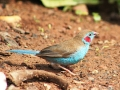 Red-cheeked cordon-blue1