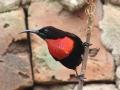 Scarlet-chested Sunbird.