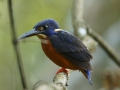 Shinning blue Kingfisher.