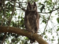 Vereaux's Eagle-owl.