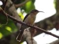 Western Olive Sunbird_1