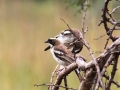 White-browed Sparrow-weaver.