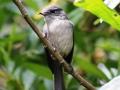 White-eyed slaty flycatcher_1