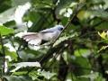 white-tailed blue flycatcher_1