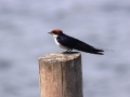 Wire-tailed Swallow_1